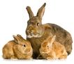 Отсадка крольчат
