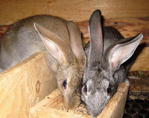 Кролики у кормушки