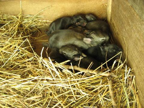 двухнедельные крольчата