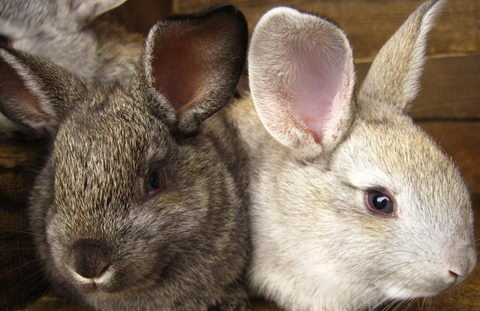 как нужно выбирать кроликов при покупке